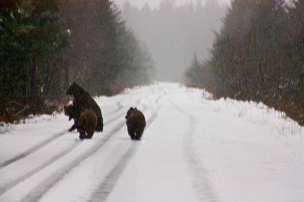 Bears on the way to the beach
